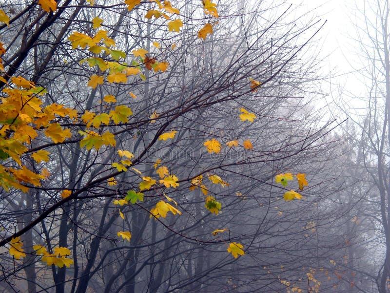 Laatste esdoornbladeren in de mist stock foto