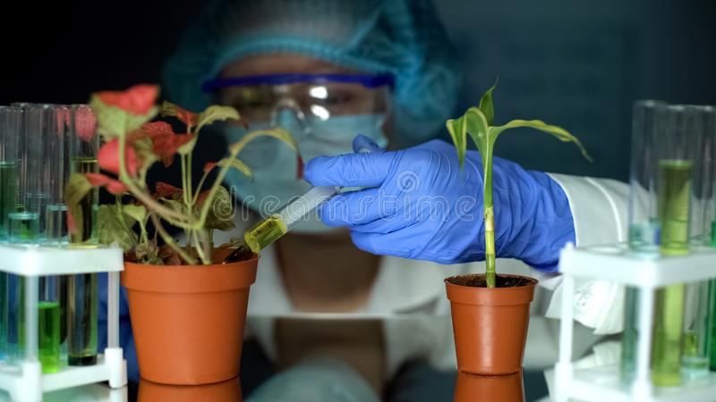 Lab assistant injecting fertilizer in fittonia plant genetic breeding experiment stock image