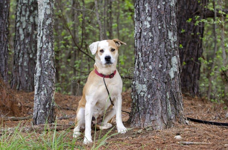 Lab buldog mieszał trakenu psa z czerwonym kołnierzem, zwierzę domowe adopci fotografia obrazy stock