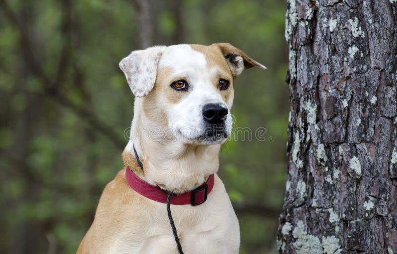 Lab buldog mieszał trakenu psa z czerwonym kołnierzem, zwierzę domowe adopci fotografia obrazy royalty free