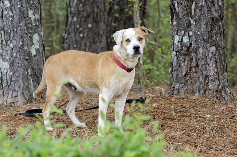 Lab buldog mieszał trakenu psa z czerwonym kołnierzem, zwierzę domowe adopci fotografia fotografia royalty free