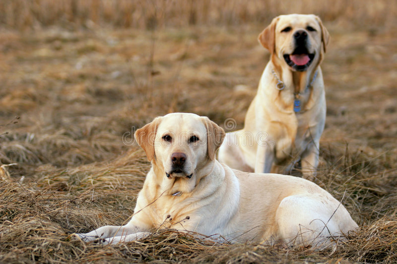 Lab Friends royalty free stock photography