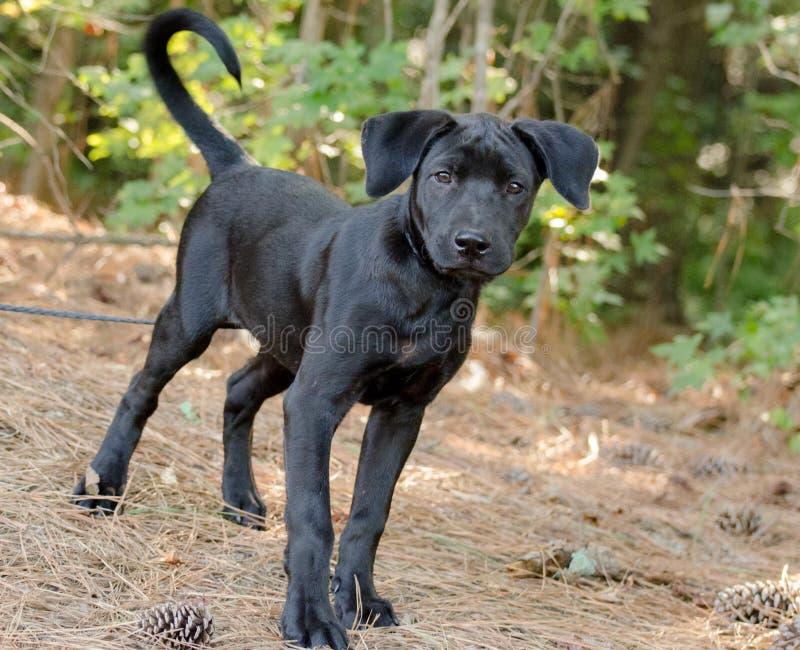 Lab mix puppy adoption portrait royalty free stock images