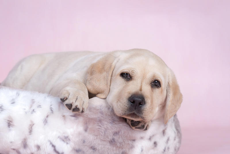 Download Lab in pink stock photo. Image of plush, retriever, puppy - 22807520