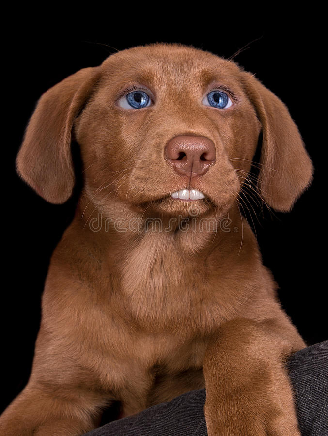 Lab puppy with human features