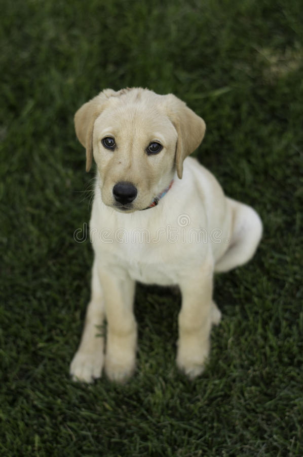 Lab Puppy stock image