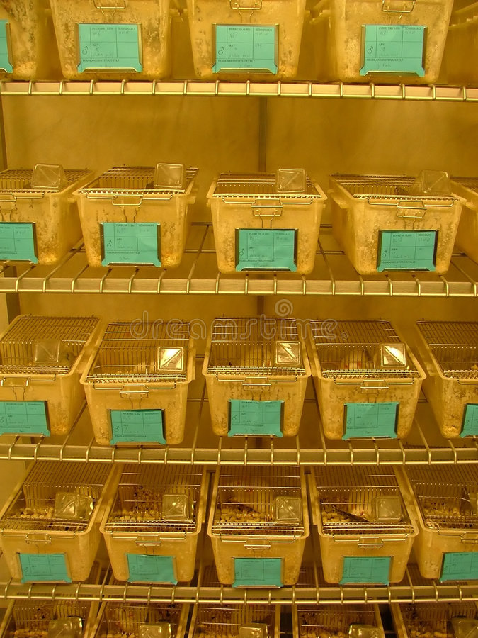 Lab rats. Boxes full of white lab rats kept for testing royalty free stock image
