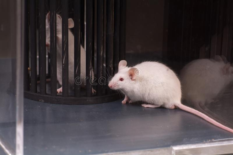 Lab rats and medical devices. Lab rats in glass medical devices royalty free stock image