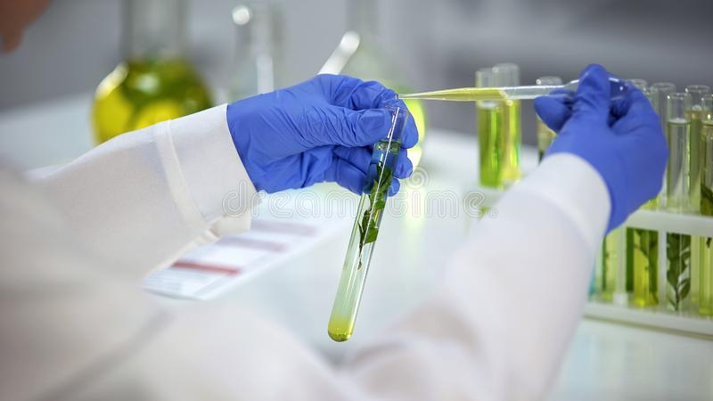 Lab researcher dripping oily liquid in tube with green plant cosmetology extract stock photos