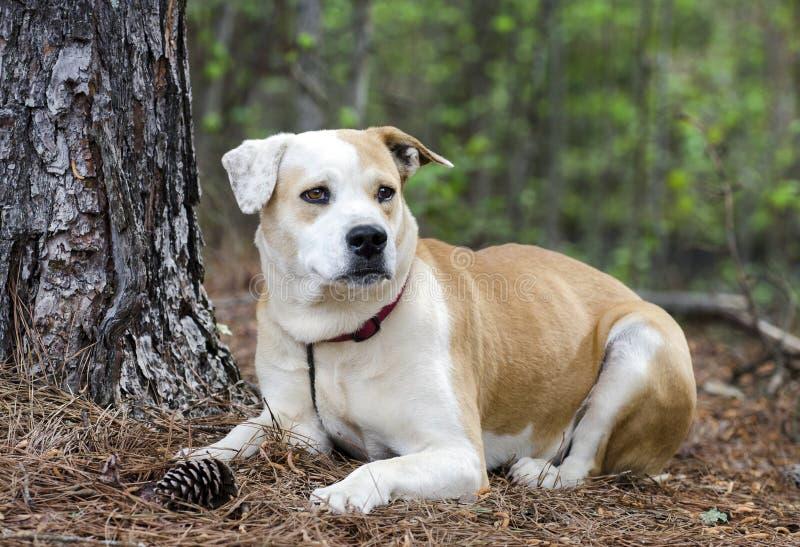 Lab trakenu buldog mieszam psi kłaść w dół, zwierzę domowe adopci fotografia obrazy royalty free