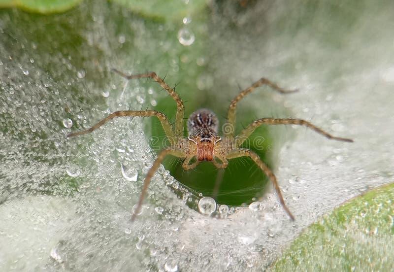 Laba-laba de la araña de la mañana imágenes de archivo libres de regalías