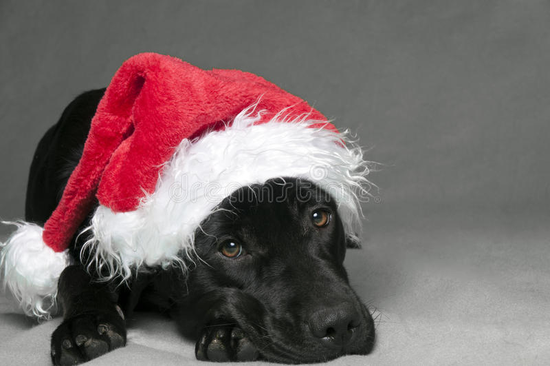 Labador christmas stock image
