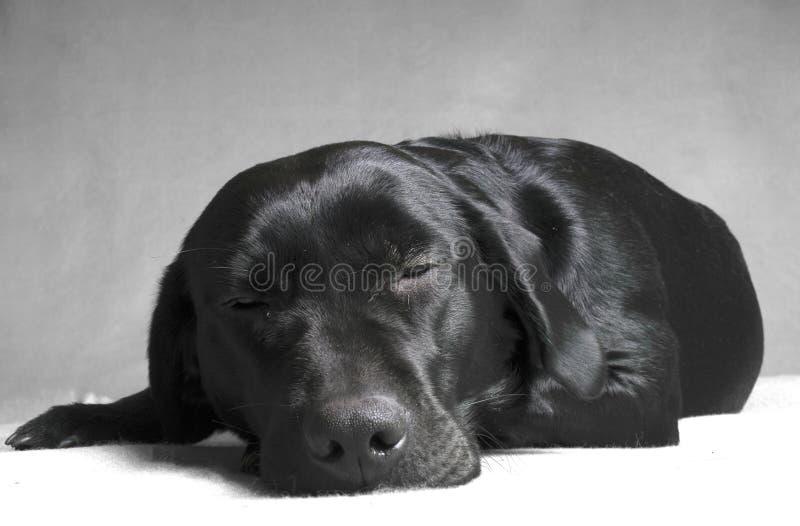 Labador noir de sommeil photos stock