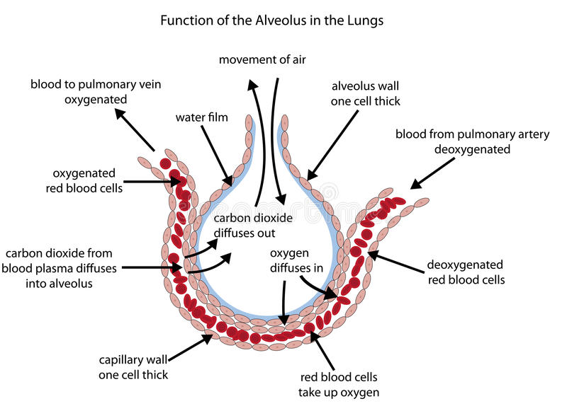 Labelled Diagram Of The Alveolus In The Lungs Stock Vector