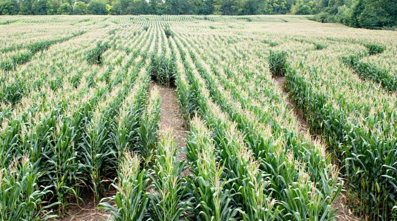 Laberinto del maíz foto de archivo libre de regalías