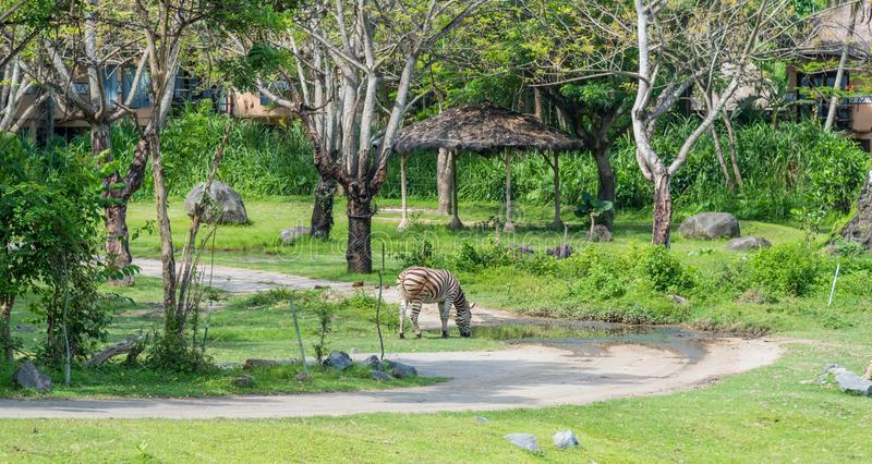 The Zebra feeding at the Bali Safari & Marine Park. Labih, Bali / Indonesia - 11/19/2016 The Zebra feeding at the Bali Safari & Marine Park royalty free stock images