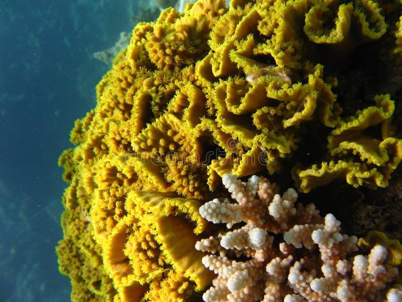 Labirint Koralle lizenzfreie stockfotografie