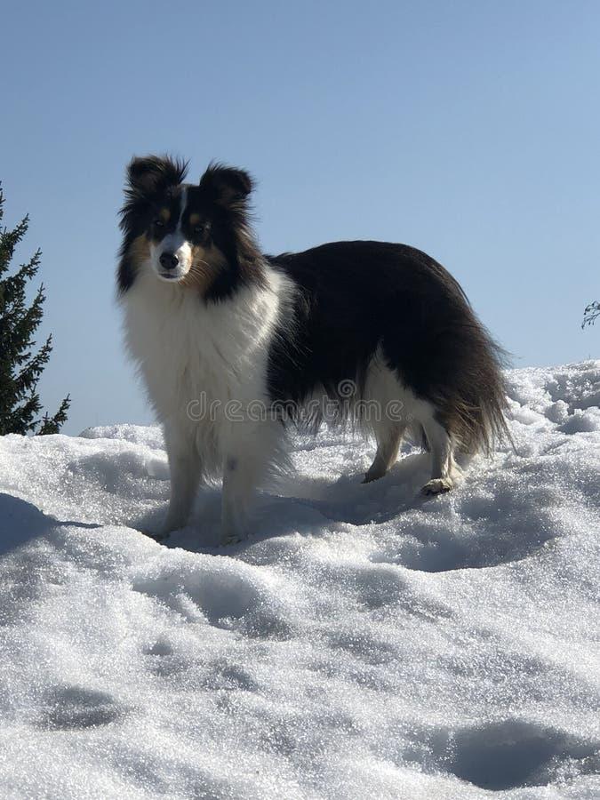 Labirinto de Bizi do cão de carneiros de Shetland da Suécia sobre um monte nevado com o céu claro azul imagens de stock royalty free