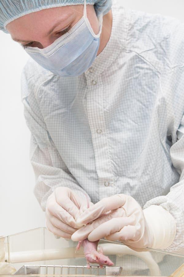 Laborancka mysz w rękach zdjęcia stock