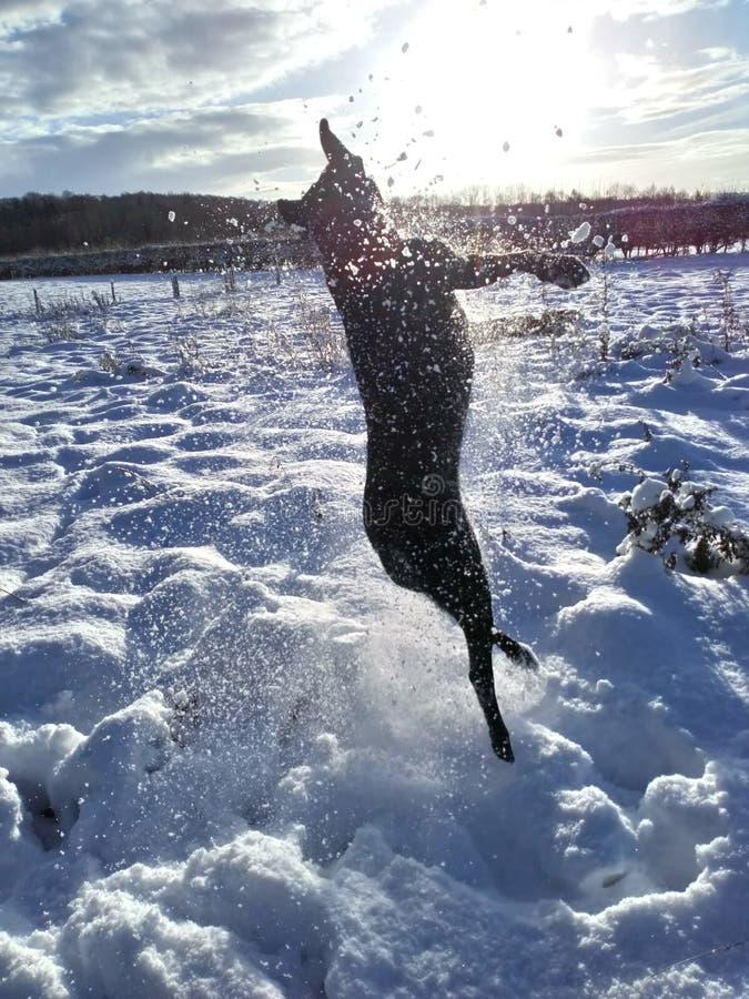 Laboratório de salto fotos de stock royalty free