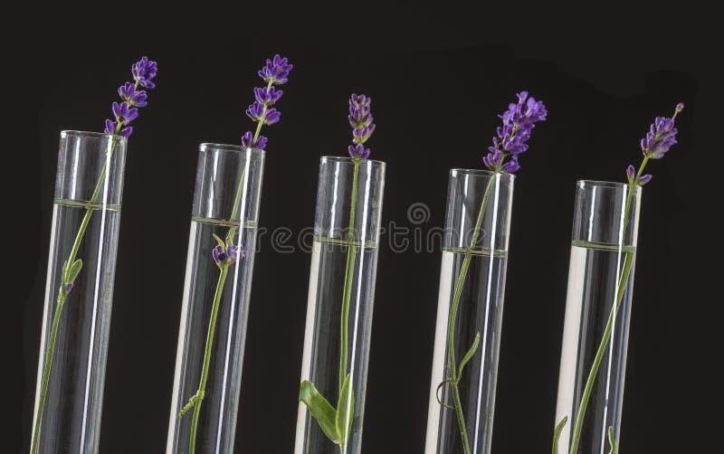 Laboratorio di cosmetologia - fiori di lavanda in provette fotografie stock