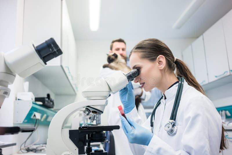 Laboratorium hulp en veterinaire het onderzoeken weefselssteekproef van een kat stock afbeelding