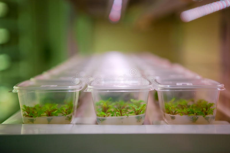 Laboratory. Plastic boxes on trays in a laboratory with engineered seedlings within, lighted by fluorescent lighting stock photography