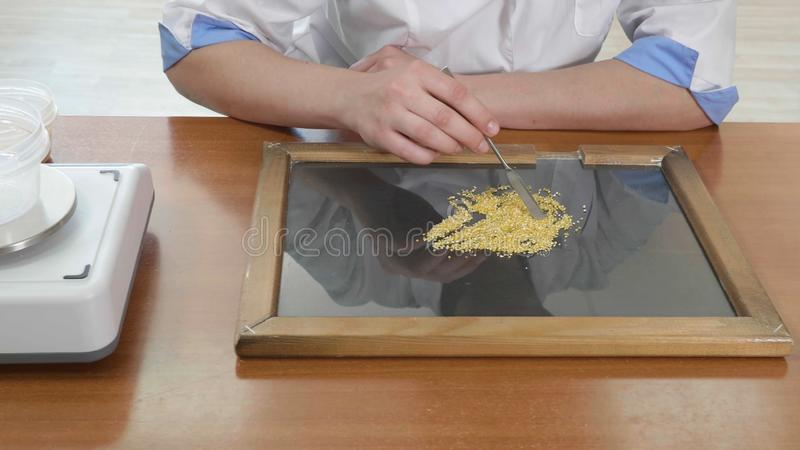 Laboratory assistant testing quality of corn seeds stock images