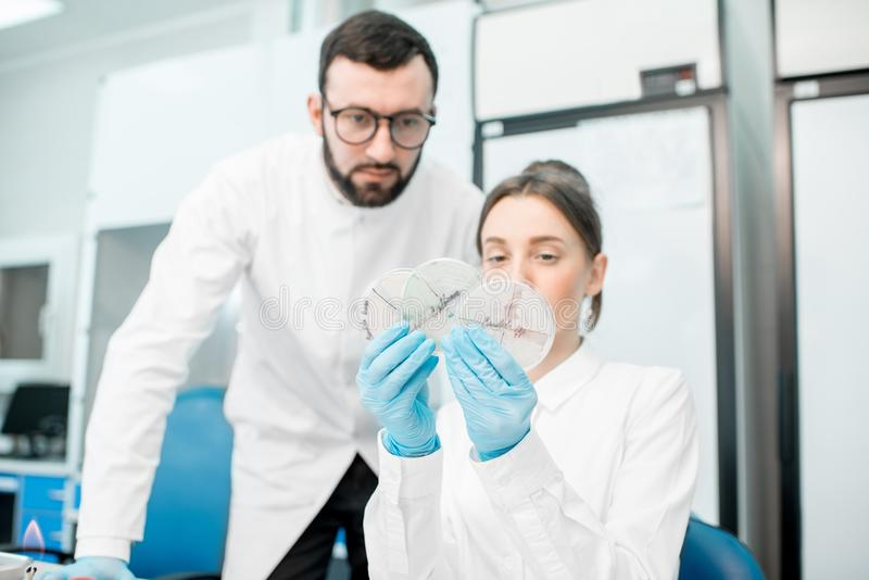 Laboratory assistants in the bacteriological department. Couple of medics in uniform looking on the effect of antibiotics on bacteria in Petri dishes making royalty free stock photo