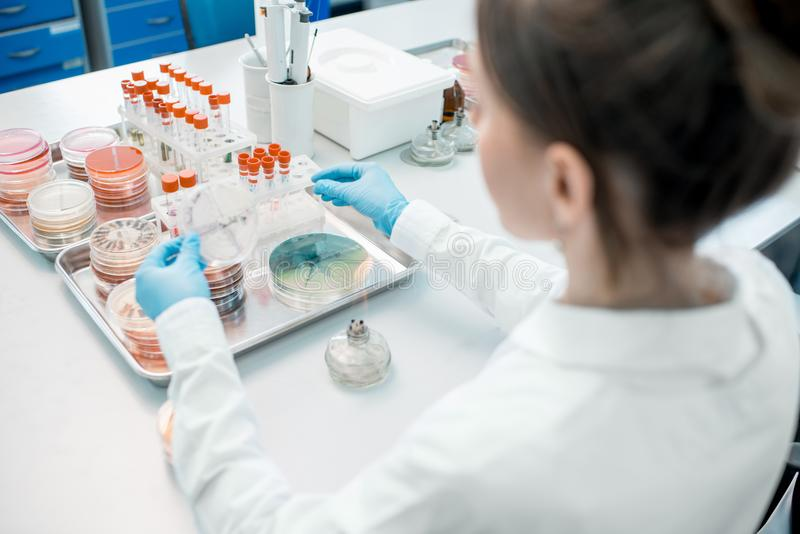 Laboratory assistants in the bacteriological department. Woman making bacteriological seeding in Petri dishes heeting tool with fire in the laboratory royalty free stock photo