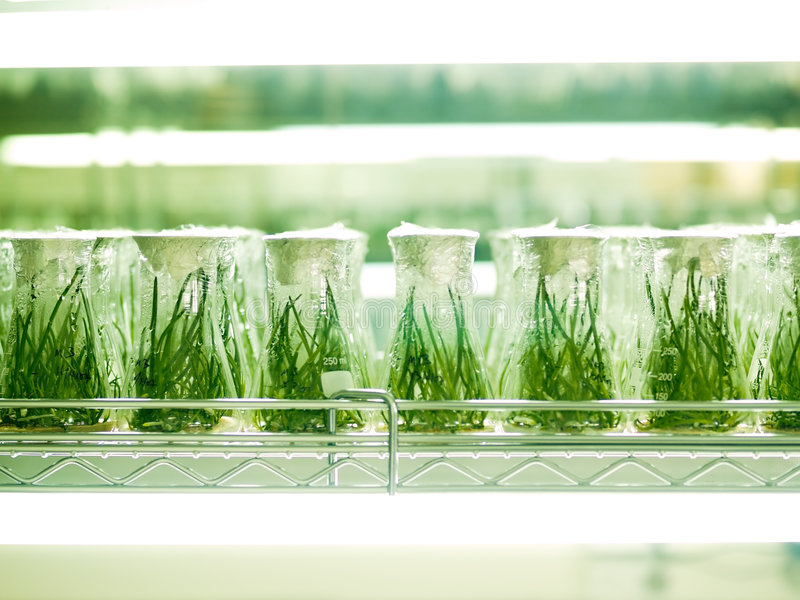 Laboratory Culture. Conical flasks on trays in a laboratory with engineered seedlings within, lighted by fluorescent lighting stock images