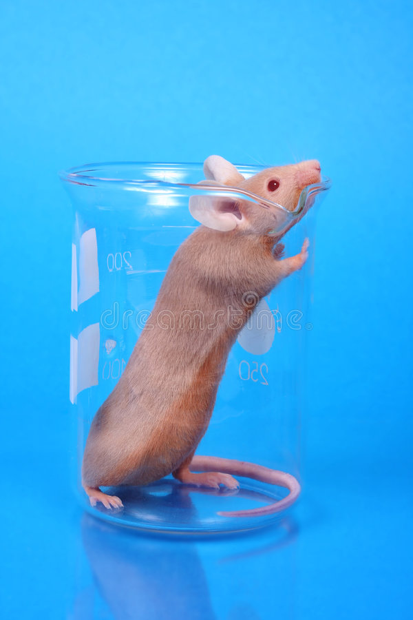 Laboratory mouse stock photography