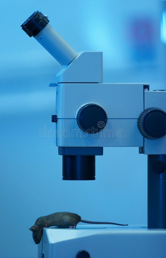 Laboratory mouse under the microscope royalty free stock photos