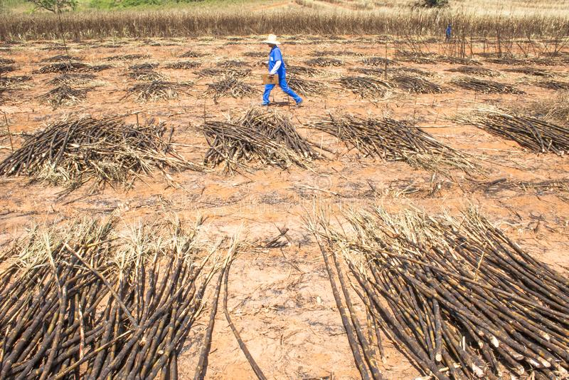 Labour harvest sugar cane, Brazil. Bariri, Sao Paulo, Brazil, October 10, 2008. worker in labour of harvest sugarcane, Brazil royalty free stock photography