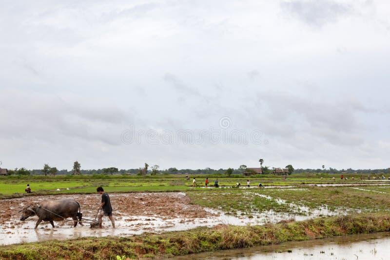 Labourage du gisement de riz photographie stock