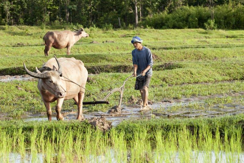 Labourez avec le buffle d'eau, gisement Asie de riz photographie stock libre de droits