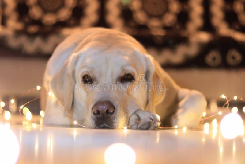 Labra dog Golden, stock photo