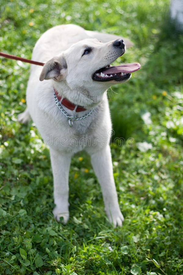 Download Labrabor Retriever stock photo. Image of golden, hound - 25232294