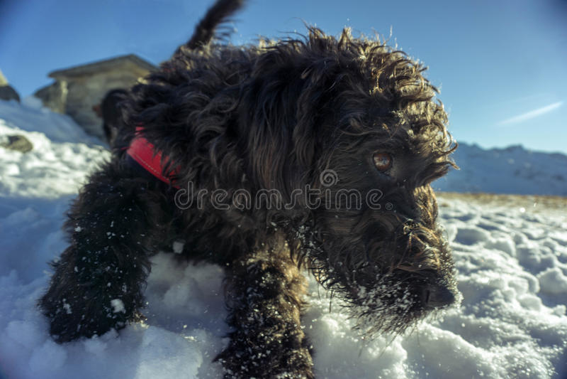 Labradoodle στο χιόνι στοκ φωτογραφίες