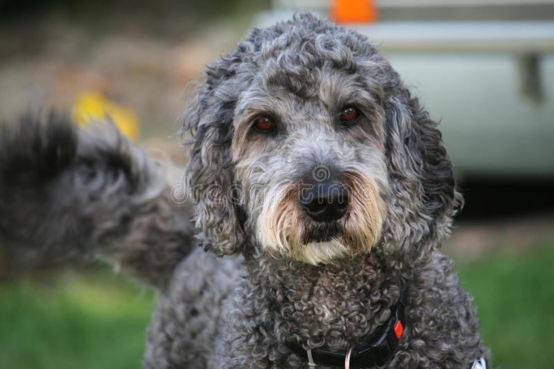 Labradoodle. Anti allergic dog. A crossbred (hybrid) dog created by crossing the Labrador Retriever and the Poodle royalty free stock photos