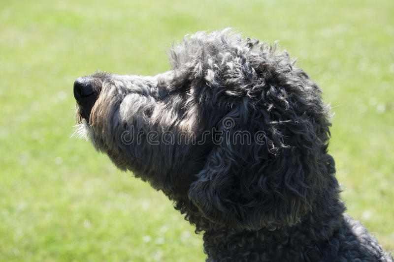 Download A Labradoodle stock image. Image of poodle, fluffy, breed - 25038489