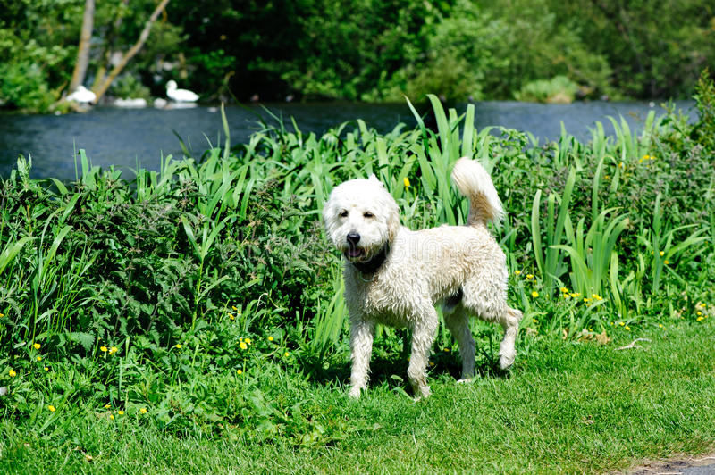 Labradoodle. Australian Labradoodle Breeder in the park. A Labradoodle is a crossbred dog created by crossing the Labrador Retriever and poodle royalty free stock photo