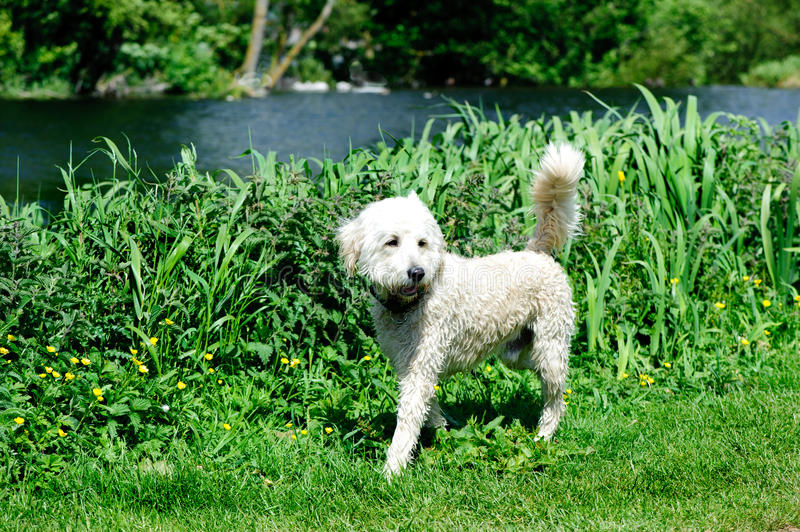 Labradoodle. Australian Labradoodle walking in the park. A Labradoodle is a crossbred dog created by crossing the Labrador Retriever and poodle stock image