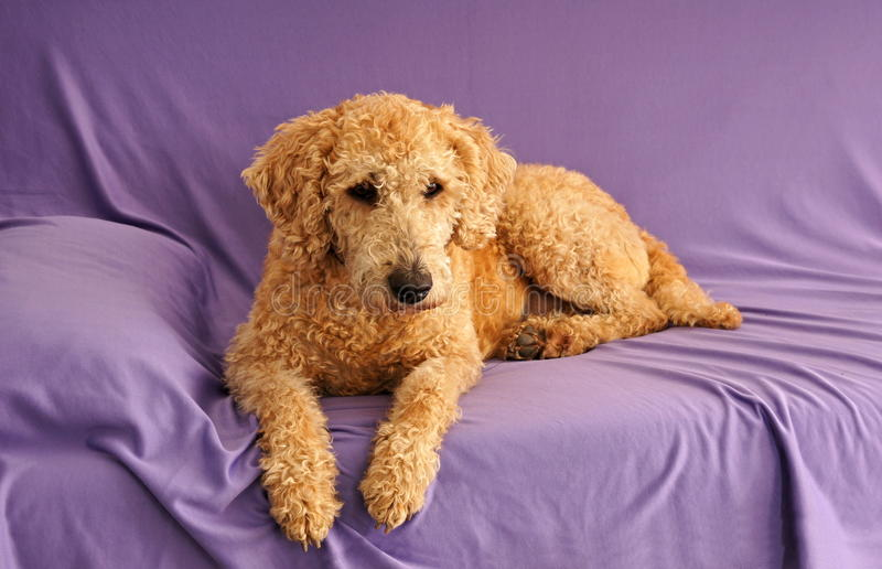 Labradoodle d'Australien de chien photos libres de droits