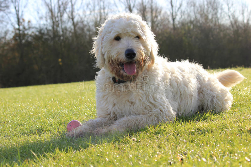 Labradoodle dog laying in a field stock photos