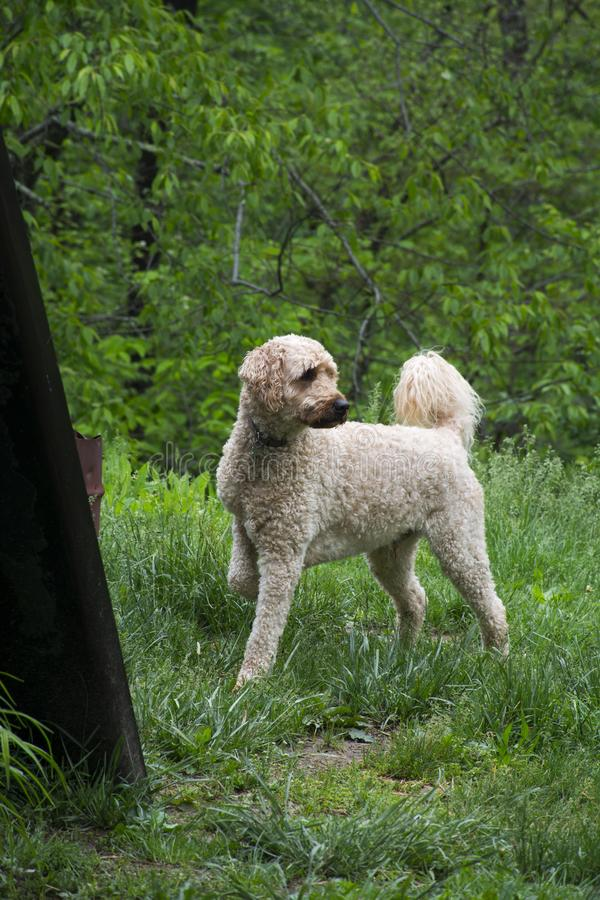Labradoodle dog in the outdoors stock images