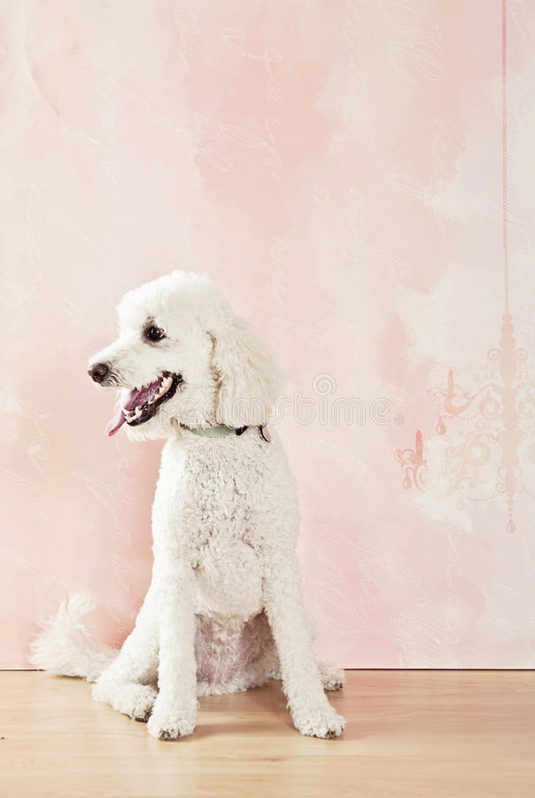 Labradoodle dog. Sitting looking to side royalty free stock photos