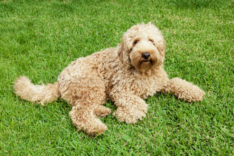 Labradoodle in grass. Cute golden labradoodle laying in lush grass royalty free stock image