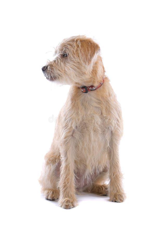 Labradoodle Hund stockbilder