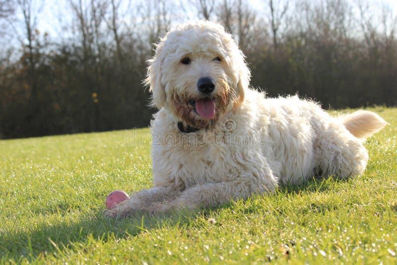 Labradoodle Hund, der auf einem Gebiet legt stockfotos